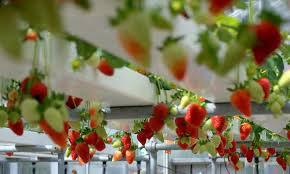 باغچه توت فرنگی